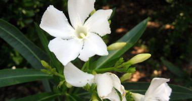 jasmines-flower-wallpaper-wide-full-hd3243